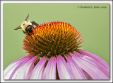 Bee on a Cone Flower 2.jpg