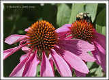 Bee on a Cone Flower.jpg