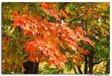 Maple leaves copy.jpg