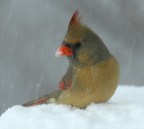 Female Cardinal_4423.jpg