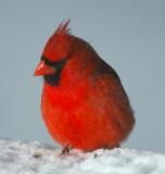 Male Cardinal_4435.jpg