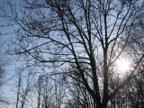 Sun and Spring Buds - Langhorne