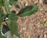 Bay Leaf (Tag #614)