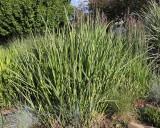 Porcupine Grass #561 (4859)