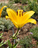 Asiatic Lily 'SunRay' #833 (5794)