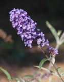 Butterfly Bush #307 (9142)