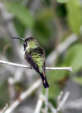 Mexican Sheartail 1.jpg