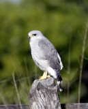 Grey Hawk Young