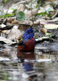 painted bunting 5 taking bath.jpg