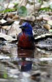 painted bunting 6 bath .jpg