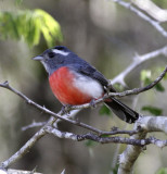 grey-throated blue chat.jpg