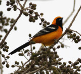 Hooded Oriole.jpg
