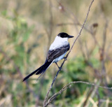 fork-tailed flycatcher 1.jpg
