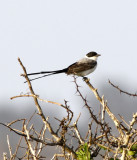 fork-tailed flycatcher 4.jpg