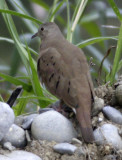 Ruddy ground-dove 1 female.jpg