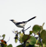 Tropical Mocking bird in Mexico.jpg