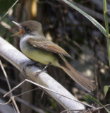 dusky-capped flycather
