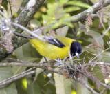 Audubon oriole 2.jpg