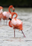 Greater Flamingo.jpg