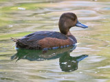 Female Teal