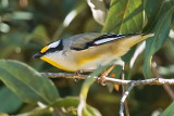 Black  Headed Pardalote