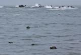 Otters, Oregon Coast, 2010