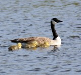Mother & 4 chicks