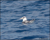 2126 Red-billed Tropicbird immature.jpg