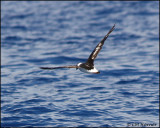 2148 Black-capped Petrel.jpg