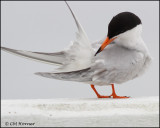 2514 Forster's Tern