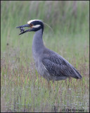 2560 Yellow-crowned Night-Heron trying to eat Northern Diamondback Terrapin