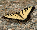 2702 Eastern Tiger Swallowtail.jpg