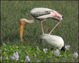 6145 Painted Stork and Black-headed Ibis.jpg