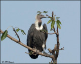 6631 White-rumped Vulture.jpg