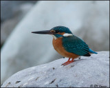 6699 Common Kingfisher.jpg
