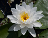 4008 Water Lily.jpg