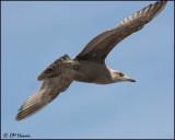 4236 Herring Gull 1st winter.jpg