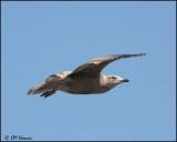 4239 Herring Gull 1st winter.jpg