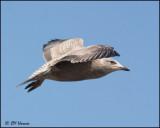 4240 Herring Gull 1st winter.jpg