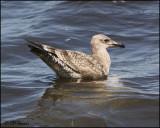 4258 Great Black-backed Gull immature