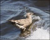 4260 Great Black-backed Gull immature