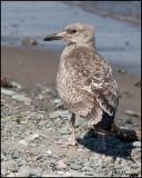 4270 Great Black Backed Gull immature