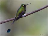 8754 Booted Racket-tail