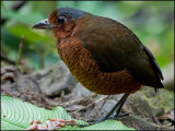 9085 Maria the Giant Antpitta