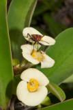 Insect on desert flower P1000315