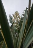 Flowering yucca (P1000909)