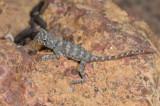 Very young Tympanocryptis tetraporophora _DSC2484