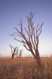 Dead gidgee and grass near sunset _DSC2594