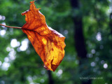 Flaging Autumn.