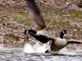 Mating Season for Canda Geese.